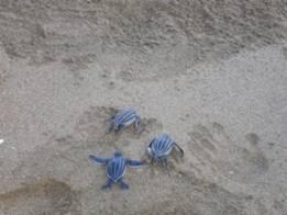 Tortugas Tinglar