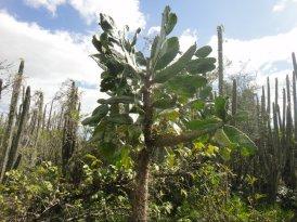 Cactus Alpargata, Parque Nacional del Este
