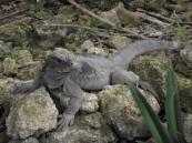 Iguana Chavon